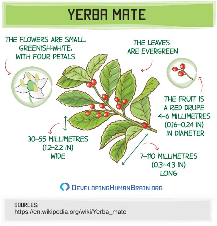 yerba mate leaf infographic