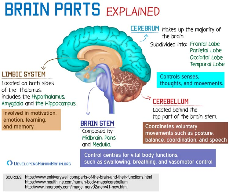 brain parts and functions
