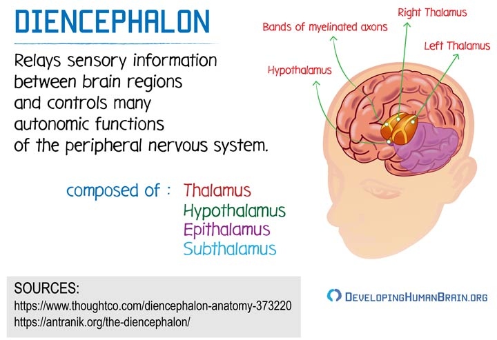 diencephalon definition and function