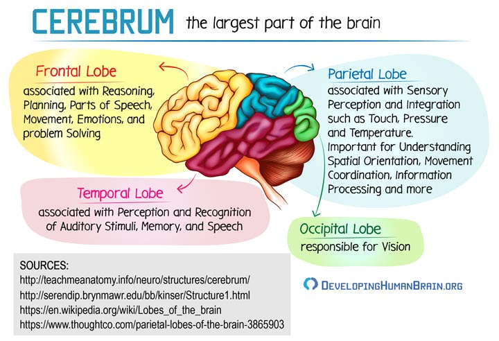cerebrum parts and function
